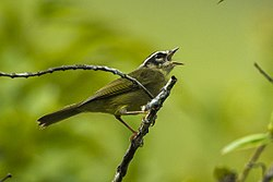 Three-striped Warbler - Colombia S4E3806 (23078173121).jpg