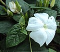 Thunbergia fragrans 05.JPG