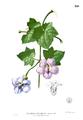 Thunbergia grandiflora Blanco1.229.png