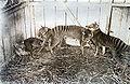 Thylacines.jpg