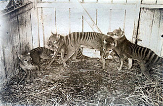 Thylacine family at Beaumaris Zoo in Hobart, 1910 Thylacines.jpg