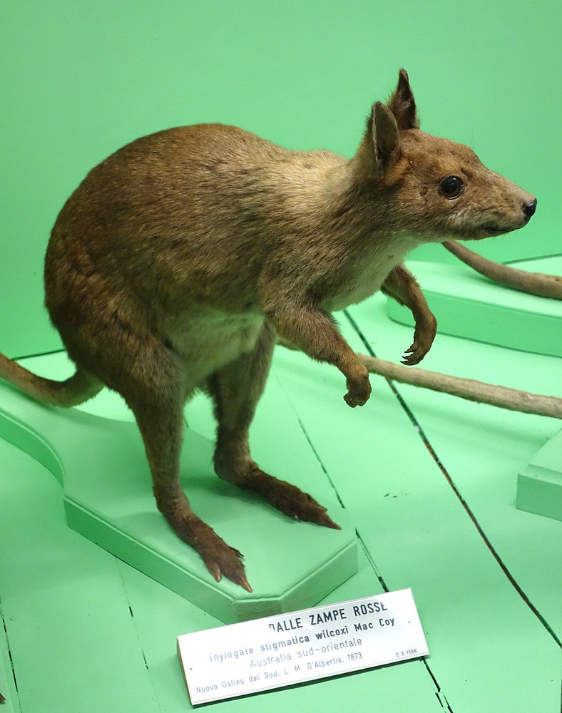 The average litter size of a Red-legged pademelon is 1