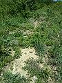 Thymus odoratissimus sl40.jpg