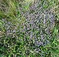 Thymus pulegioides L. (7786855514).jpg