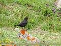 Tibetan Blackbird (Turdus maximus), Hunza, Pakistan (38741784165).jpg