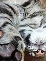 Tiger Cub (3293871901).jpg
