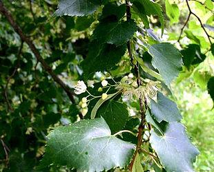 Småbladet Lind (Tilia cordata):Blomstrende gren