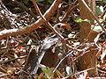 Tockus erythrorhynchus 0021.jpg