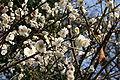 Tokyo Spring Picture 2006 Nr. 2.JPG
