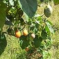 Tomate de árbol (7964814098).jpg