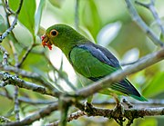 Green parrot with blue back and yellow eye-spot