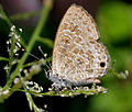 Transparent 6-Lineblue (Nacaduba kurava) is it W IMG 4181.jpg