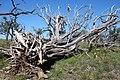 Tree-Dead-6602.jpg