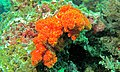 Tree Coral (Dendronephthya sp.) (6086355296).jpg