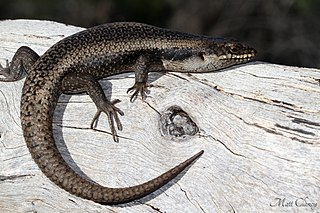 Tree-crevice skink species of reptile