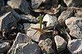 Tree seedling cotyledons IMG 0273.JPG