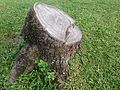 Tree stump 1.jpg