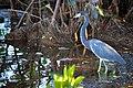 Tricolored Heron (7345195950).jpg