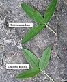 Trifolium alpestre leaf (13).jpg
