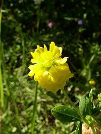 Trifolium aureum inflorescence 1 AB