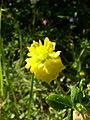 Trifolium aureum inflorescence 1 AB.JPG