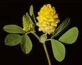 Trifolium campestre - Flickr - Kevin Thiele.jpg