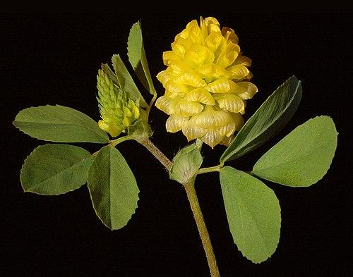 500px trifolium campestre   flickr   kevin thiele