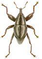 Trigonopterus fusiformis holotype - ZooKeys-280-001-g031.jpg