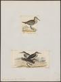 Tringa tenuirostris - 1700-1880 - Print - Iconographia Zoologica - Special Collections University of Amsterdam - UBA01 IZ17400229.tif