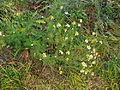 Tripleurospermum maritimum subsp inodorum plant7 (16191174780).jpg