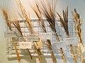 Triticum seeds - Osaka Museum of Natural History - DSC07821.JPG