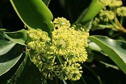 Trochodendron-aralioides-flowers.jpg