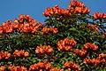 Tulipán africano (Spathodea campanulata) (14253501429).jpg