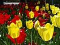 Tulip Festival in assiniboine park winnipeg manitoba canada 1 (7).JPG