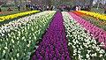Tulip garden Keukenhof 6.jpg