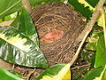 Turdus leucomelas nest with hatchlings.jpg