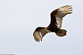 Turkey Vulture (Cathartes aura) in Morro Bay, CA (2328444918).jpg