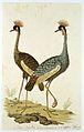 Twee kroonkraanvogels (Balearica regulorum).jpeg