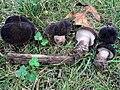 Tylopilus alboater (Schwein.) Murrill 650766.jpg