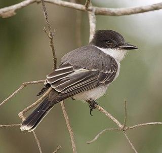 Loggerhead kingbird species of bird