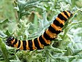 Tyria jacobaeae caterpillar.jpg