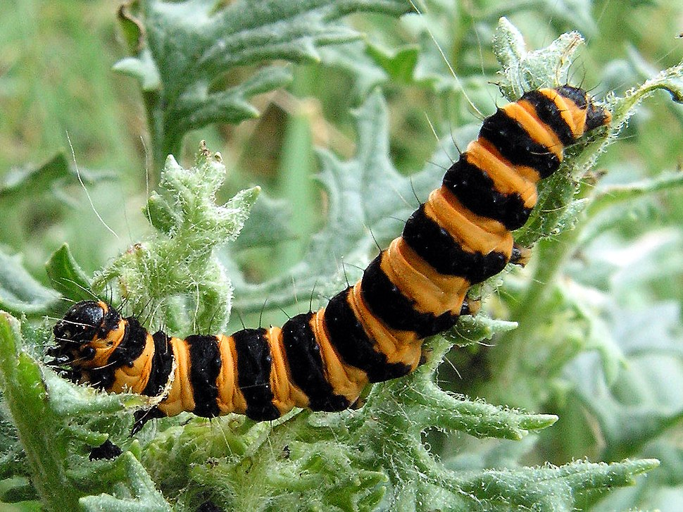 Tyria jacobaeae caterpillar