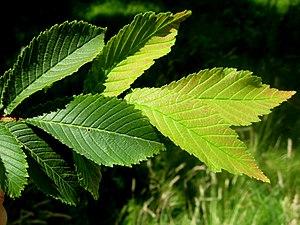 Ulmus microcarpa - Image: U. microcarpa foliage detail