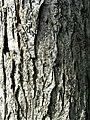 Ulmus TRIUMPH bark.jpg