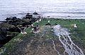 Un groupe de goélands leucophées juvéniles.jpg
