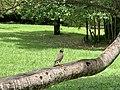 Un petit oiseau sur un arbre (Jardin de Pamplemousses).jpg