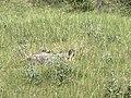 Une marmotte au loin sur le rocher aux marmottes à Eygliers (juillet 2020), 2.jpg