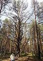 Unusual pine.jpg