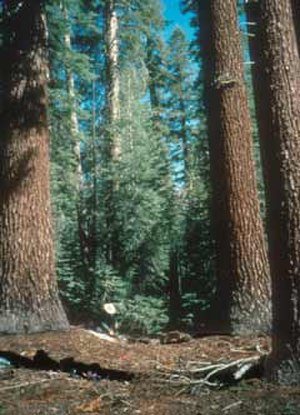 Ecology of the Sierra Nevada - Upper montane red fir forest.