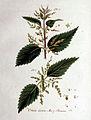 Urtica dioica — Flora Batava — Volume v1.jpg